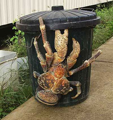 Coconut Crab on trash can